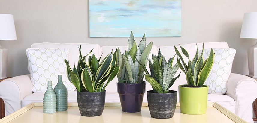 Buy House Plants Online