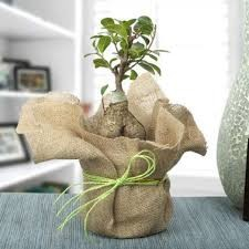 Get 39% Off On Picturesque Ficus Ginseng Bonsoi Plant