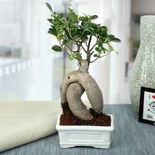 Get 46% Off On Splendid Ficus Ginseng Bonsai Plant