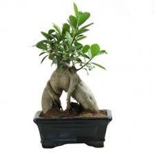 Get 60% Off On Charming Carmona S Shape Bonsai Plant